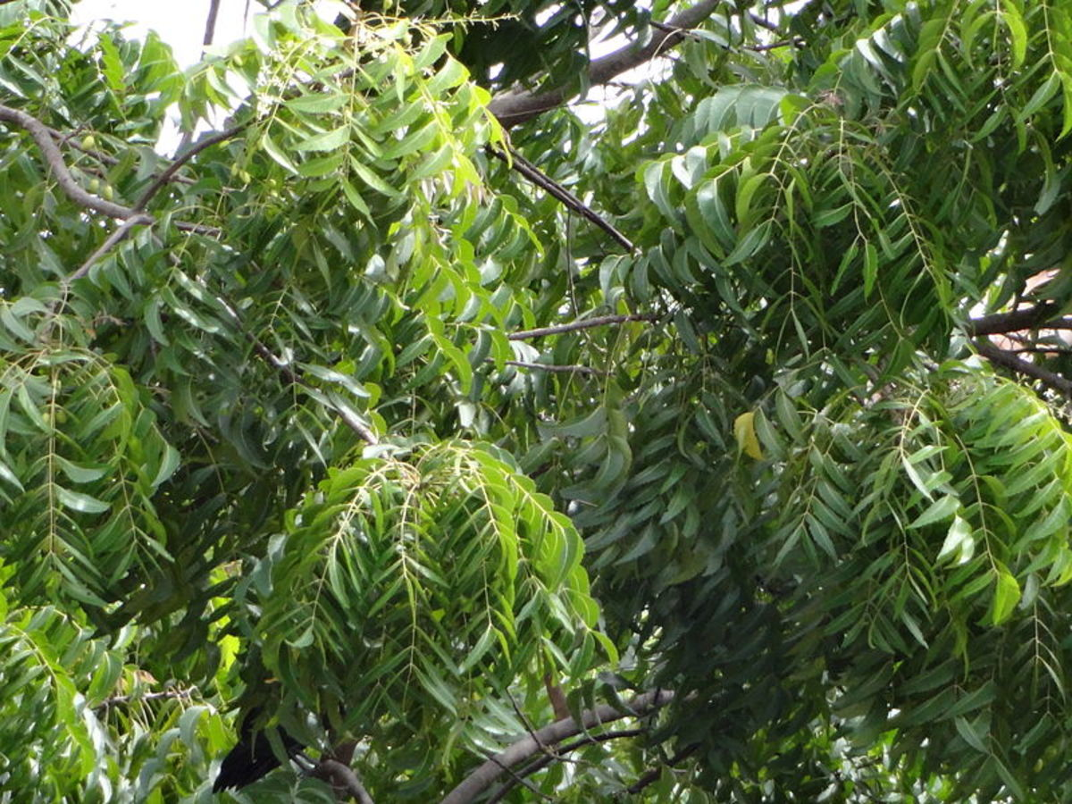 Neem leaves can help you out for acne problem
