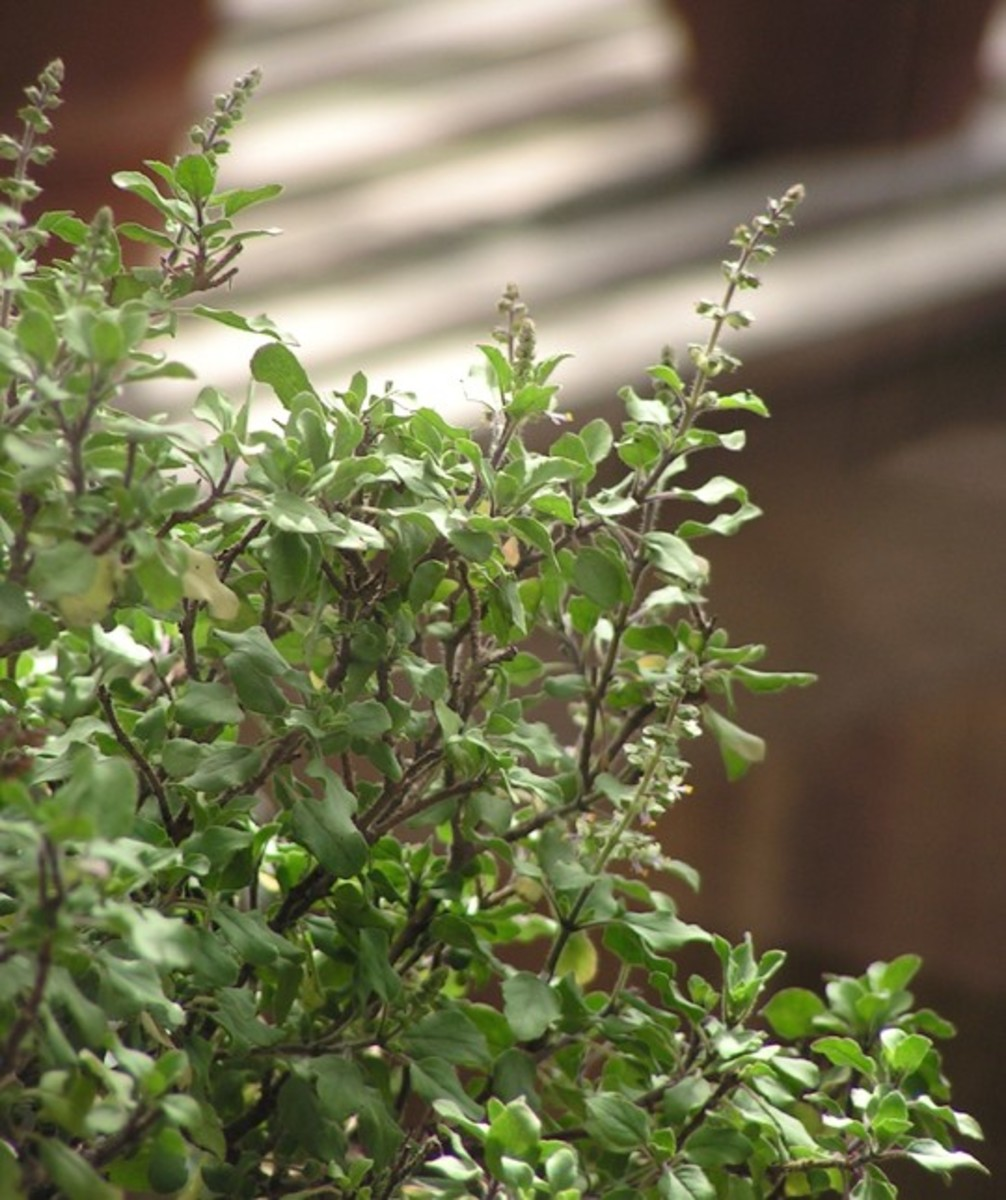 Tulsi leaves are useful for pimple prone skin