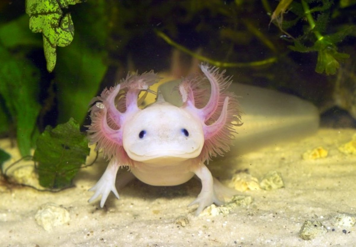 Axolotl in captivity CC: Frank Ambrock