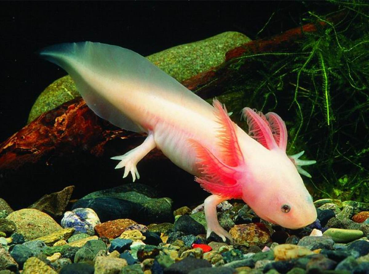 FACTS ABOUT AXOLOTL, THE MEXICAN   SALAMANDER