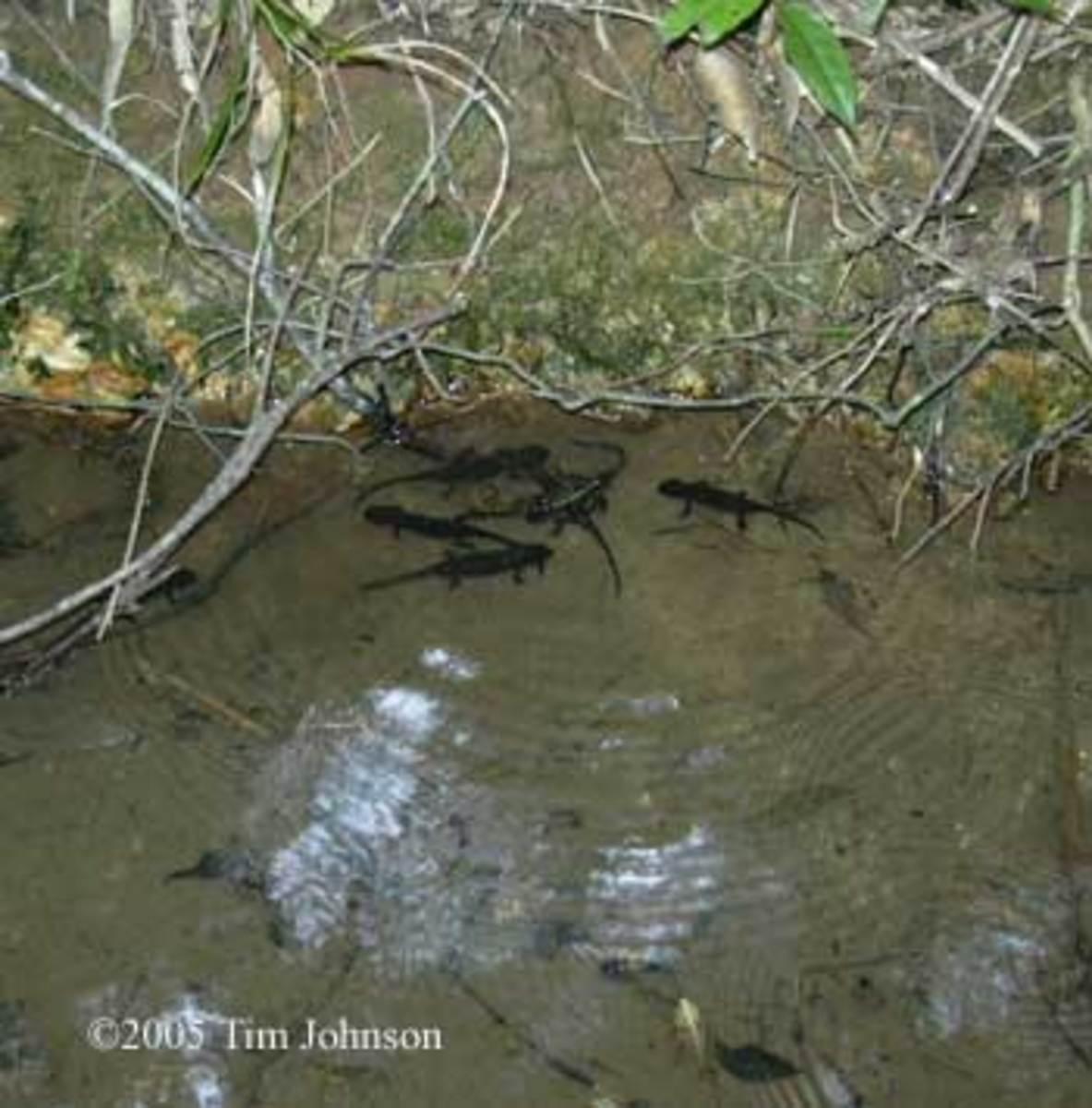 Axolotl in the wild CC: Tim Johnson, 2005