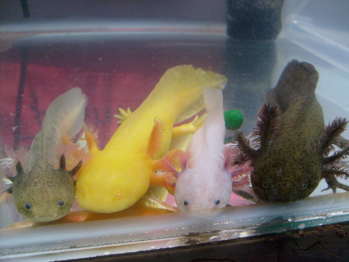 Variety of axolotl color CC: sillyaxolotl