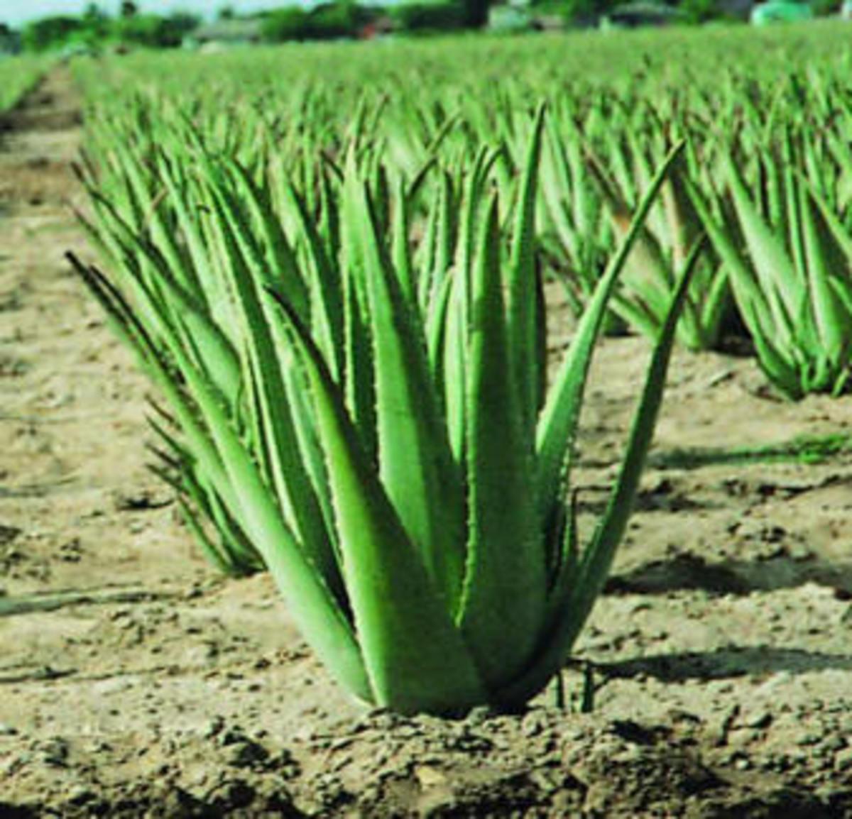 aloe-vera-the-healer-plant