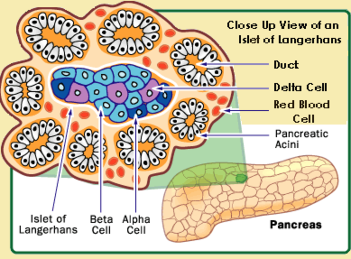 Insulin is produced by beta cells of the Islet of Langerhans in the pancreas