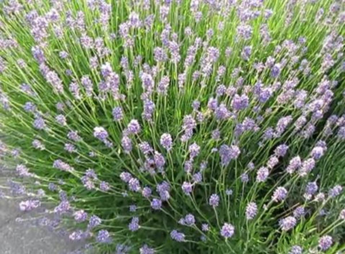 Lavender repels mosquitoes as the insects dislike the scent the flower gives off