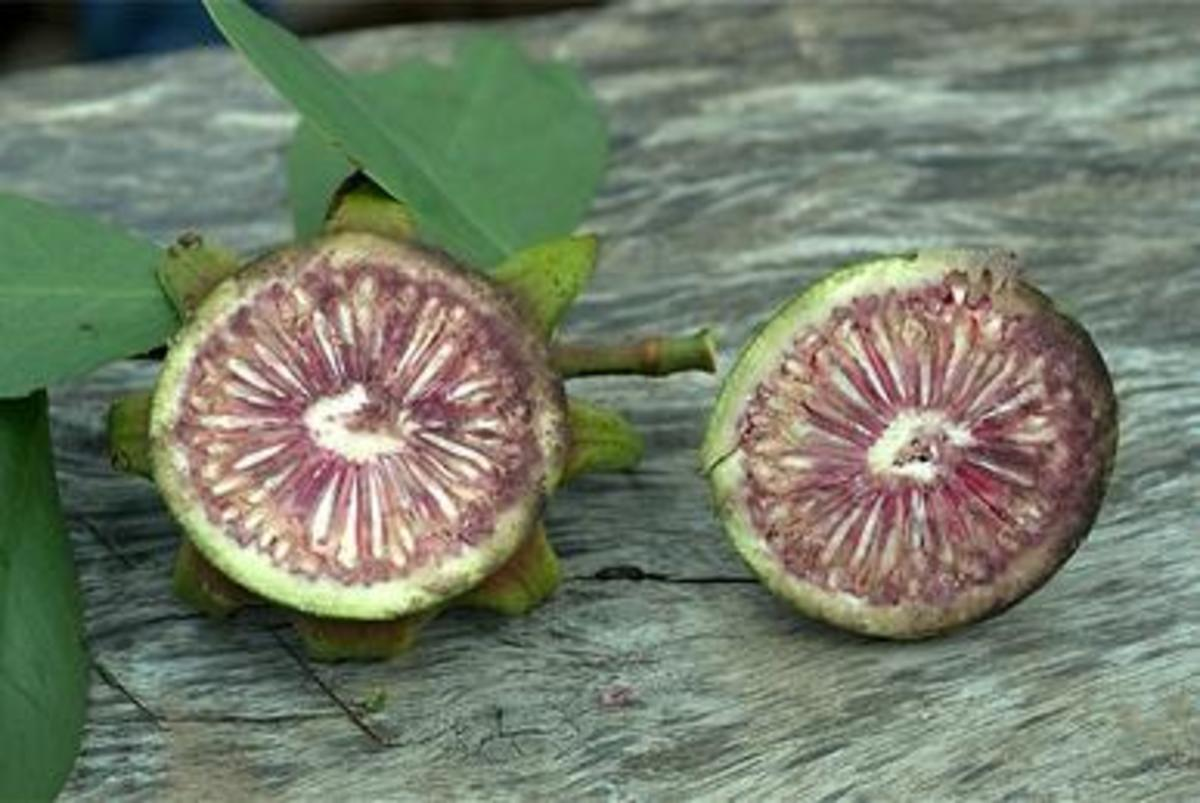 Seeds in the Fruit of Sonneratia