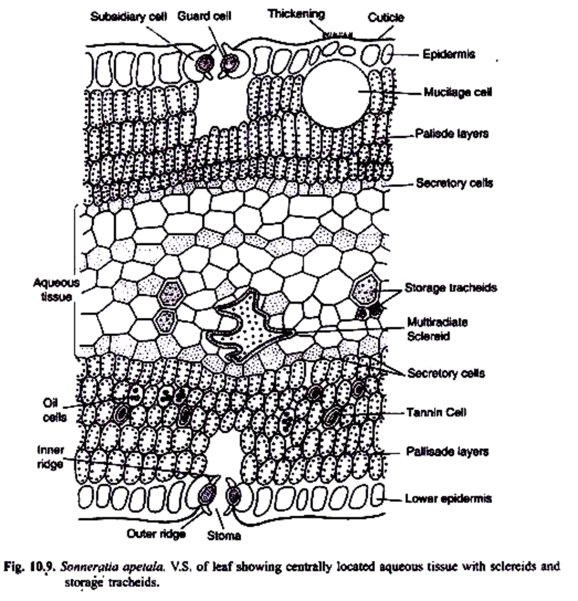 Extra palisade layer in the Mesophyll tissue