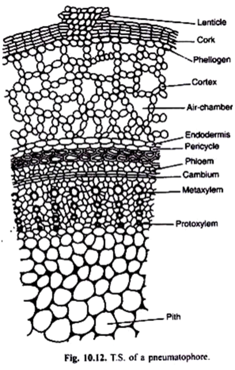 Numerous air chambers in the pneumatophore