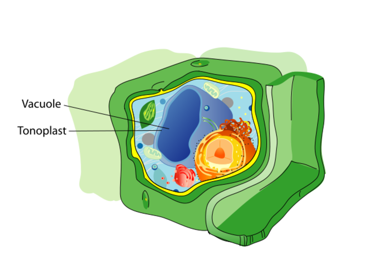 Tonoplast- the membrane separating vacuole and cytoplasm