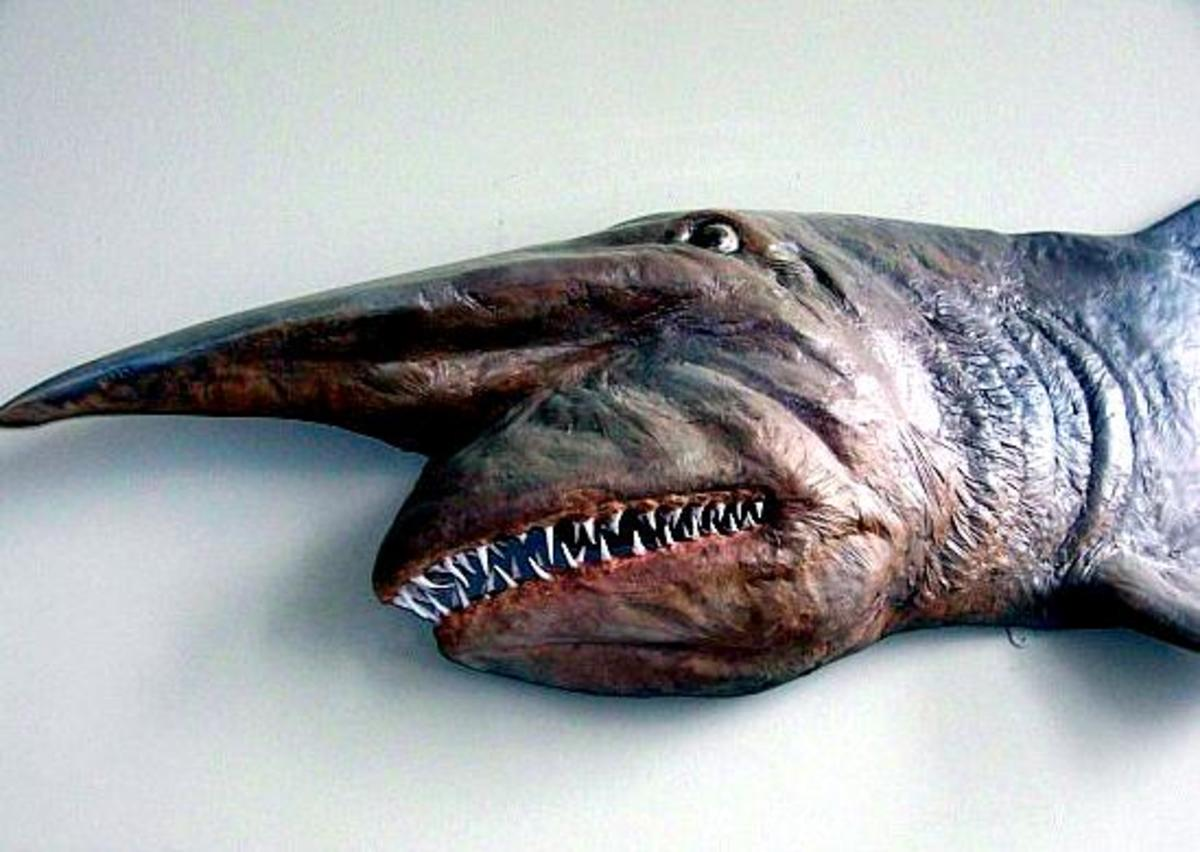 Picture Of A Goblin Shark
