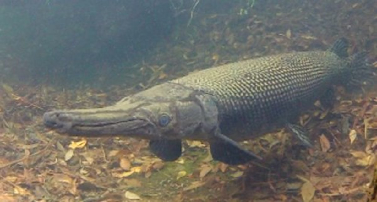 Picture Of A Alligator Gar