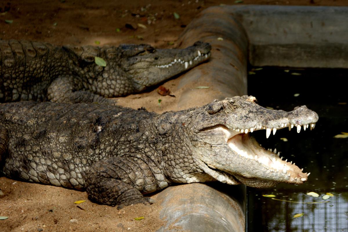 Picture Of A Crocodillian