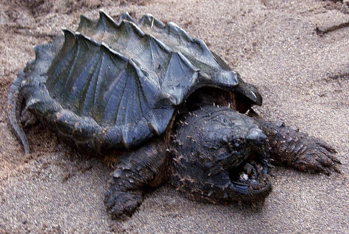 Picture Of An Alligator Snapping Turtle
