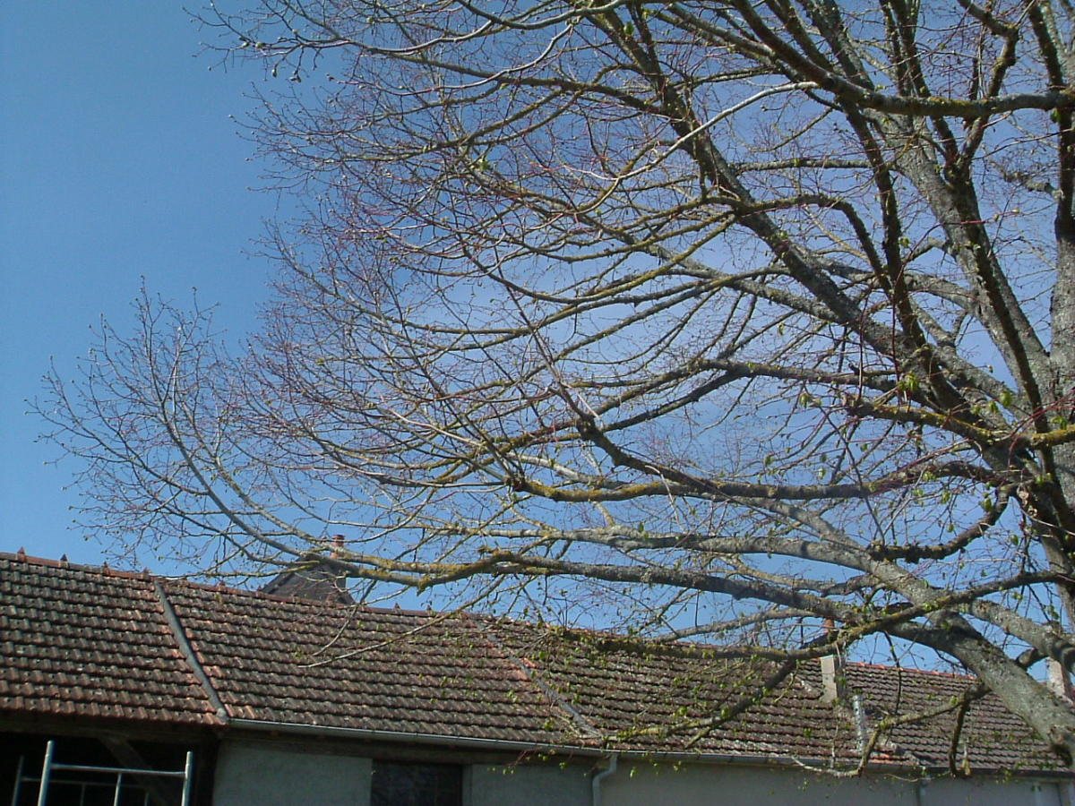 Leaves Springing Forth on the Lime Tree