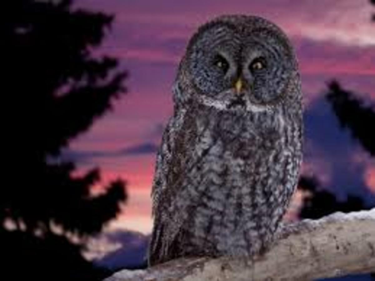 Hooting owl