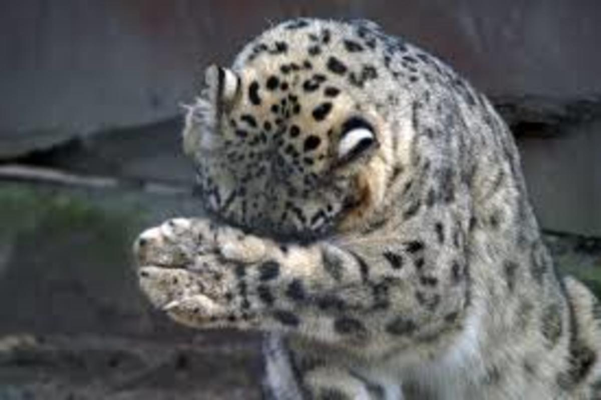 panthera-uncia-the-snow-leopard
