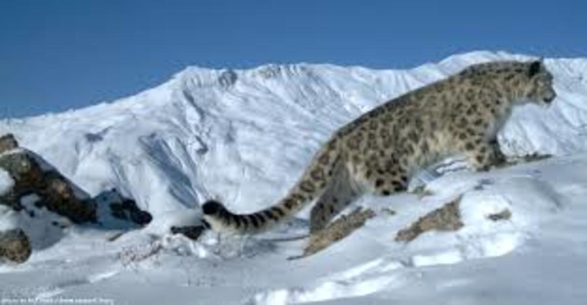 The snow leopard in its natural environment.