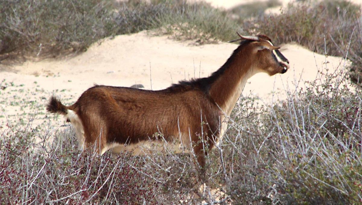 The principal livestock on the island are goats. They may be seen roaming on the hills, and I saw one goat farm at La Florida in Central Fuerteventura with more goats in residence than I've ever seen in my life before (hundreds!)