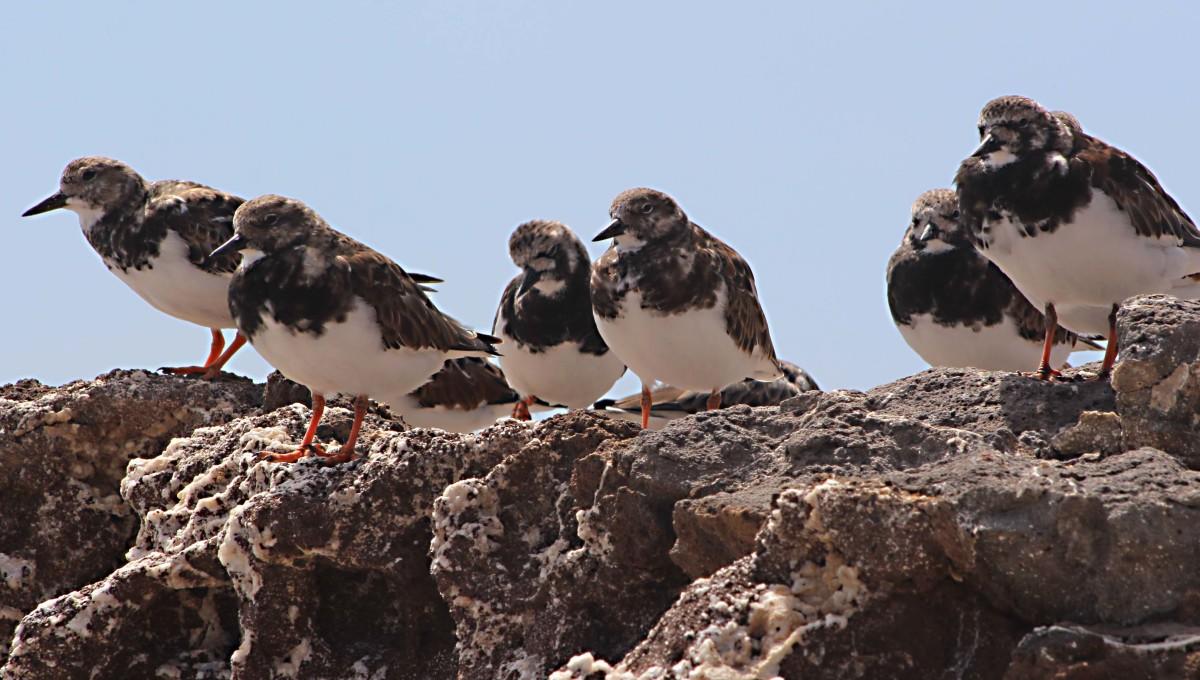 Turnstones on one of the rocky headlands around Costa Calma
