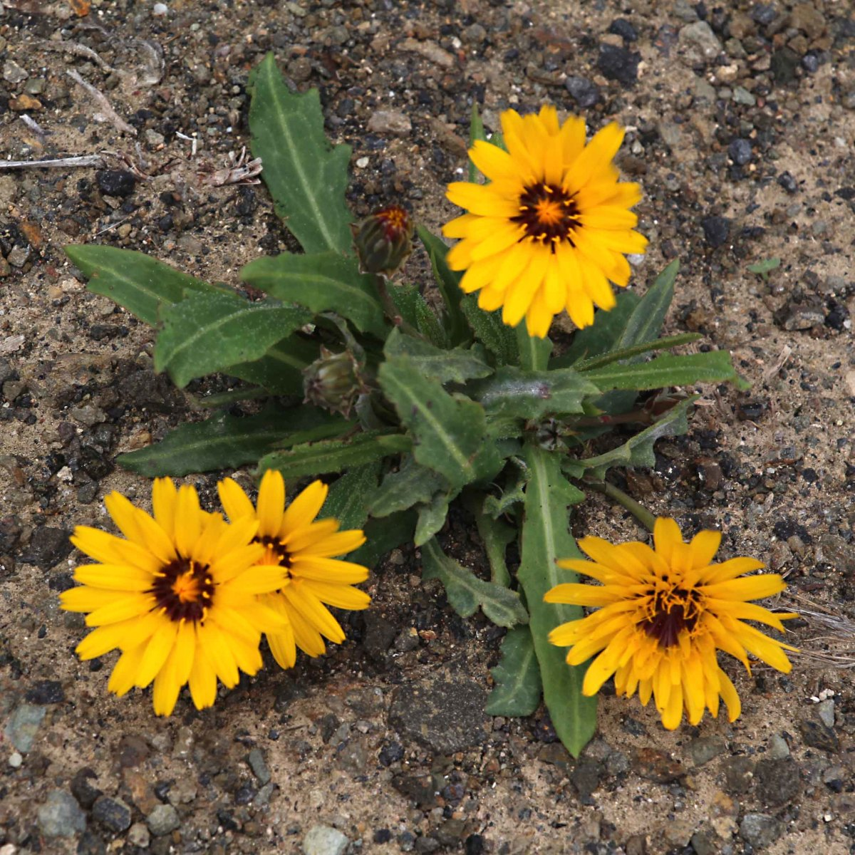A pretty little daisy growing in the uplands of west-central Fuerteventura near Pajara