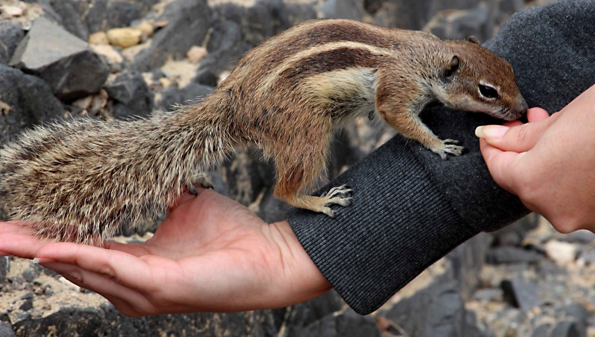 Barbary Ground Squirrels will come as close as your fingertips - and then a little bit closer