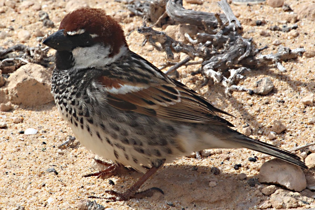 Just a sparrow? Not the universally common House Sparrow but the prettier local species, unimaginatively called the Spanish Sparrow