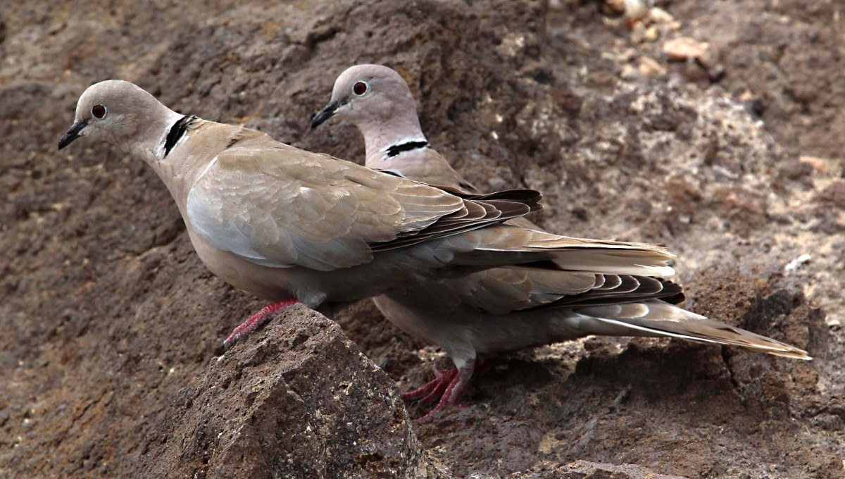 The tamest and most ubiquitous of birds on the Fuerteventuran coast is the Collared Dove, which can be hand fed here. Only the Barbary Squirrel below is more approachable