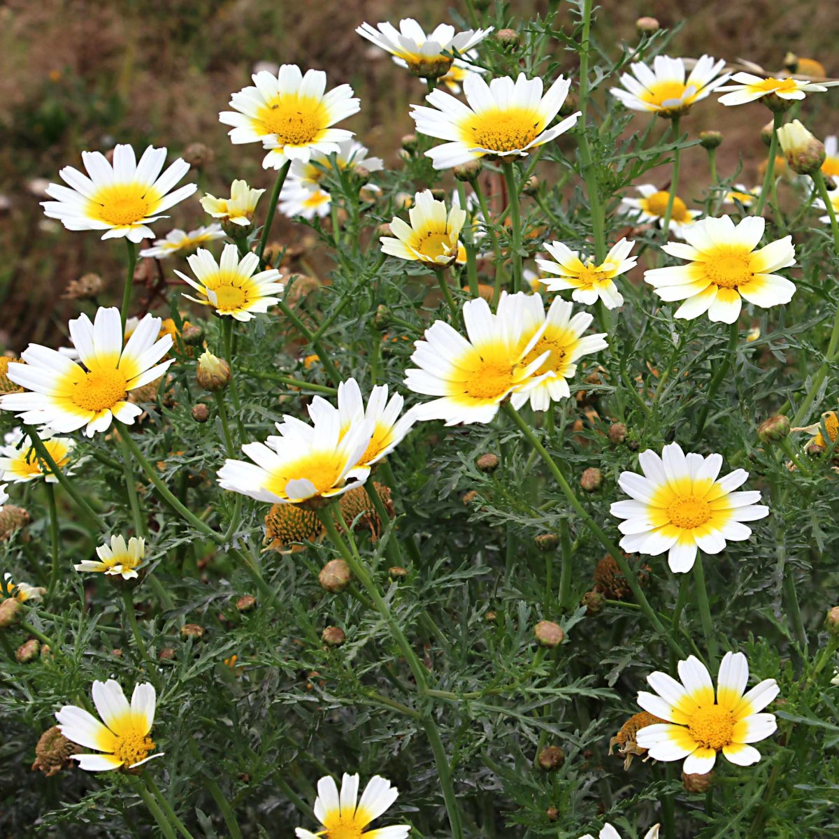 Daisies growing near the Cueva del Llano in La Olivia in the north of the island