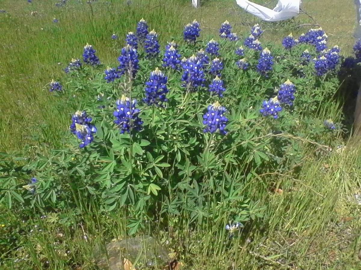 the-legend-of-the-pink-bluebonnets