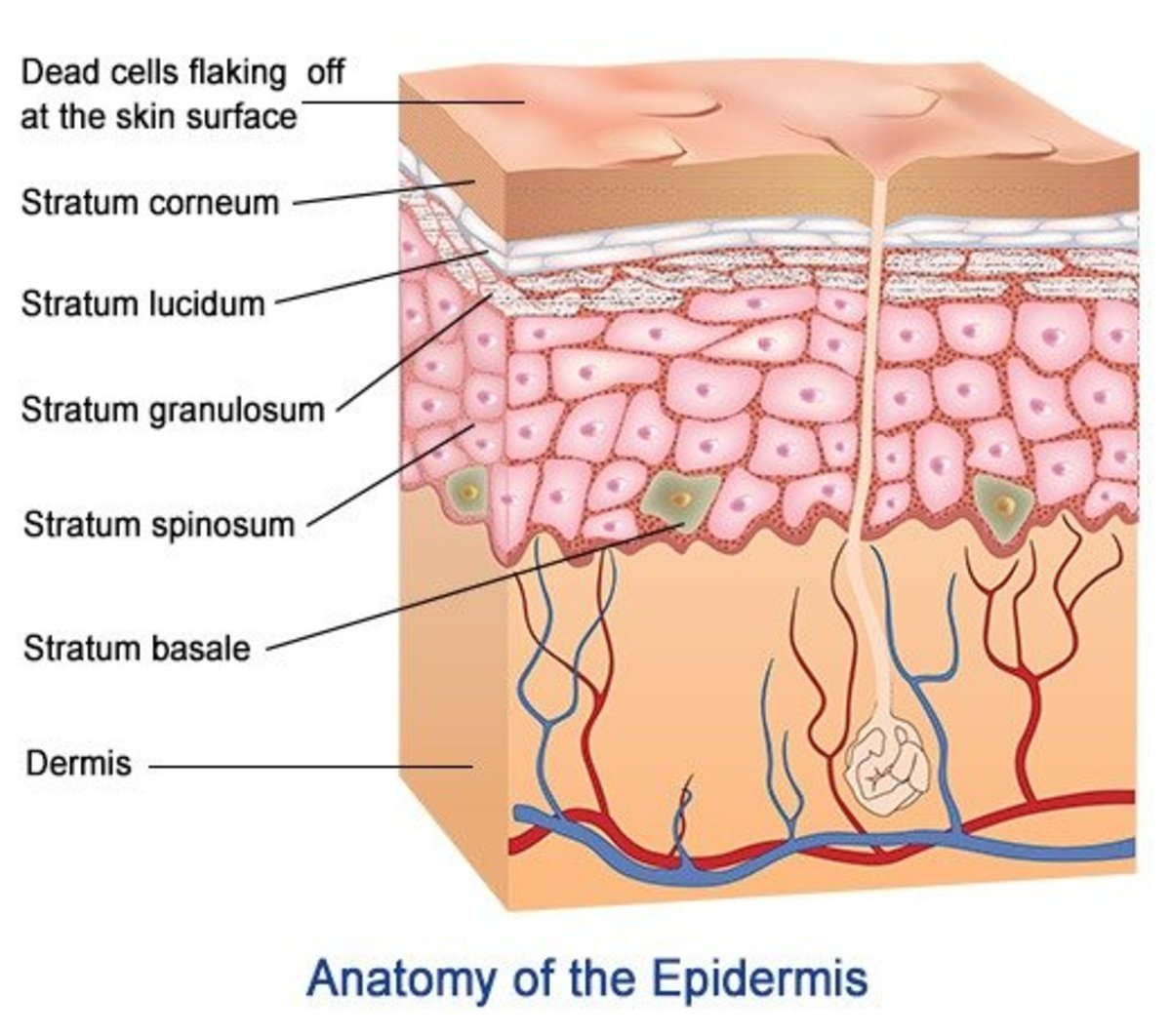 5 Layers And Cells of the Epidermis