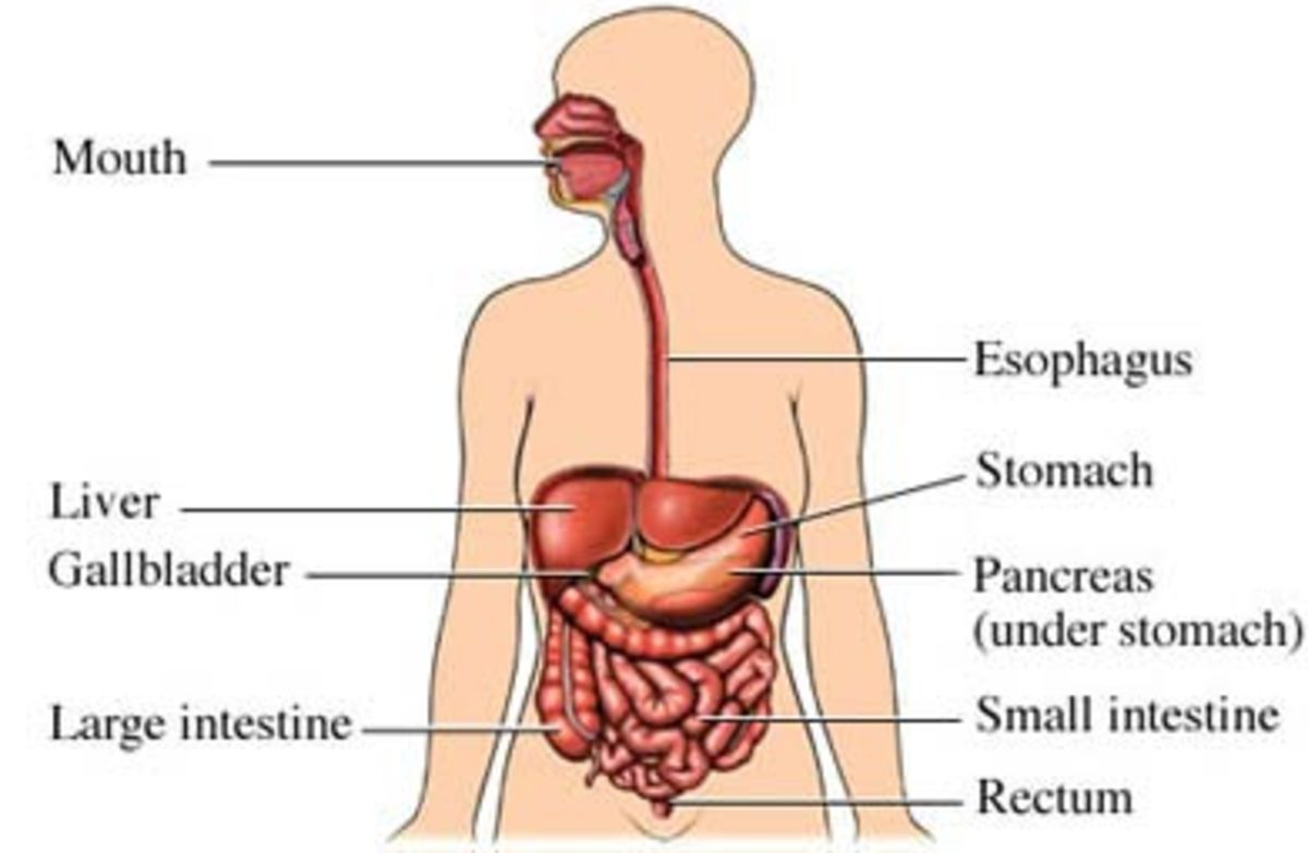 Digestive system of human body hubpages digestive system can be defined as the system that consist of the alimentary canal which extends from the mouth to the anus and several accessary organs publicscrutiny Image collections