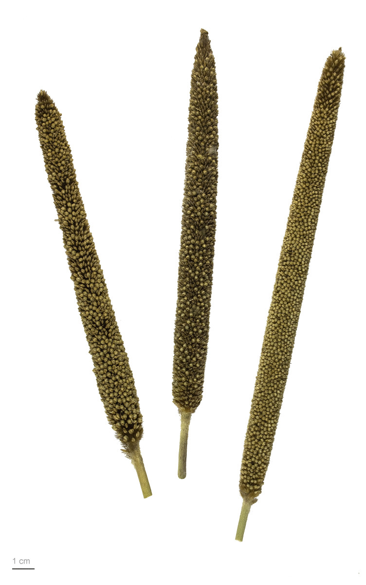 The thick cylindrical spike holding the Pearl Millet grains