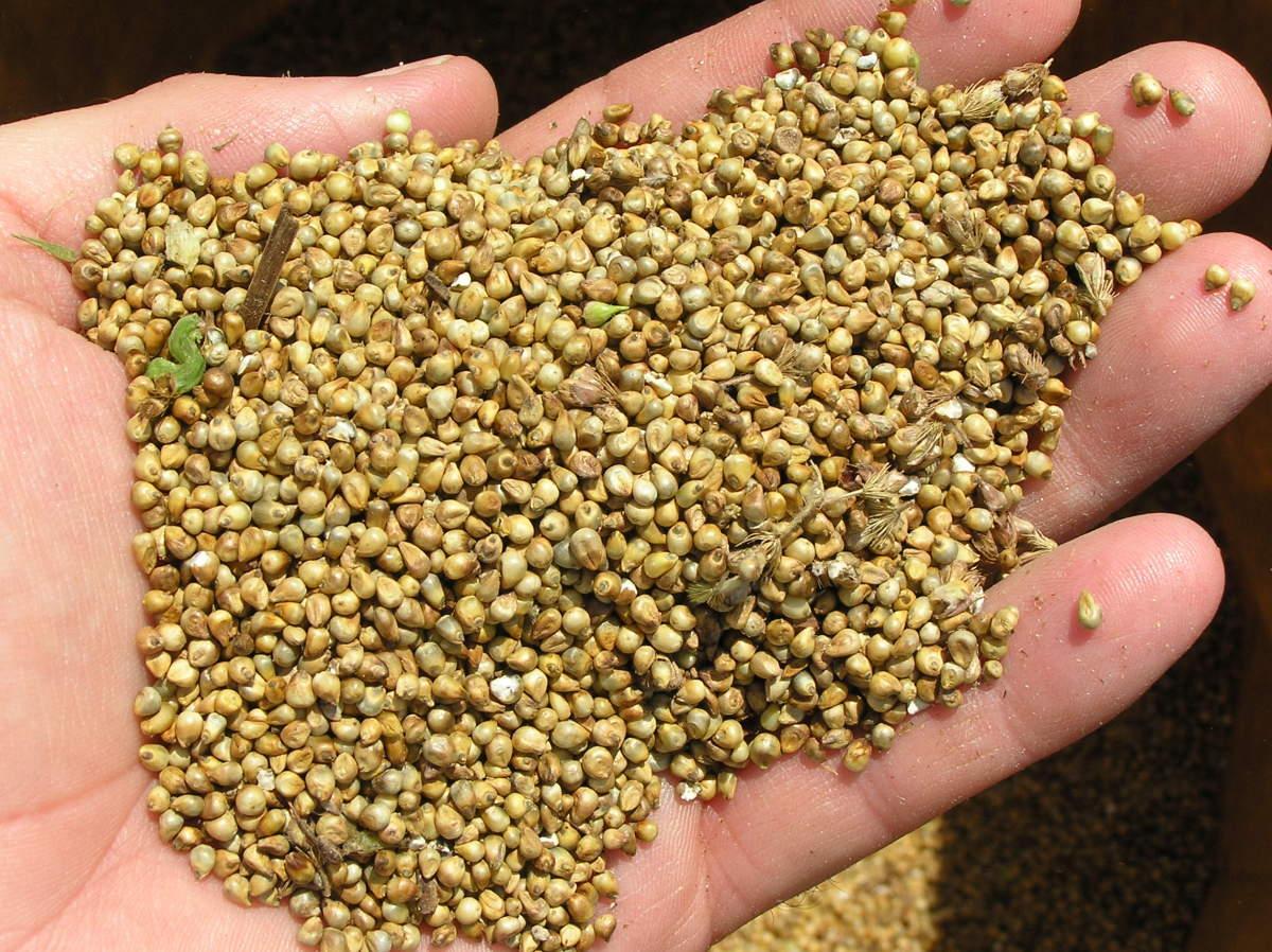 Bajra or Pearl Millet