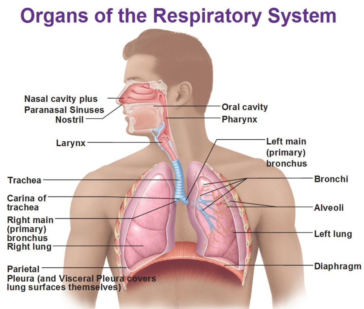 The Respiratory System of Human