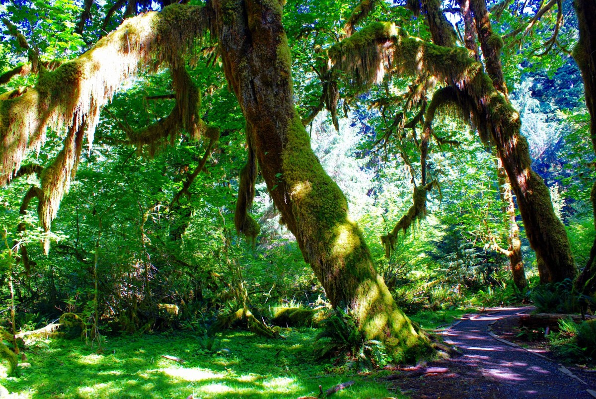 Hall of Mosses in Quinault Rain Forest