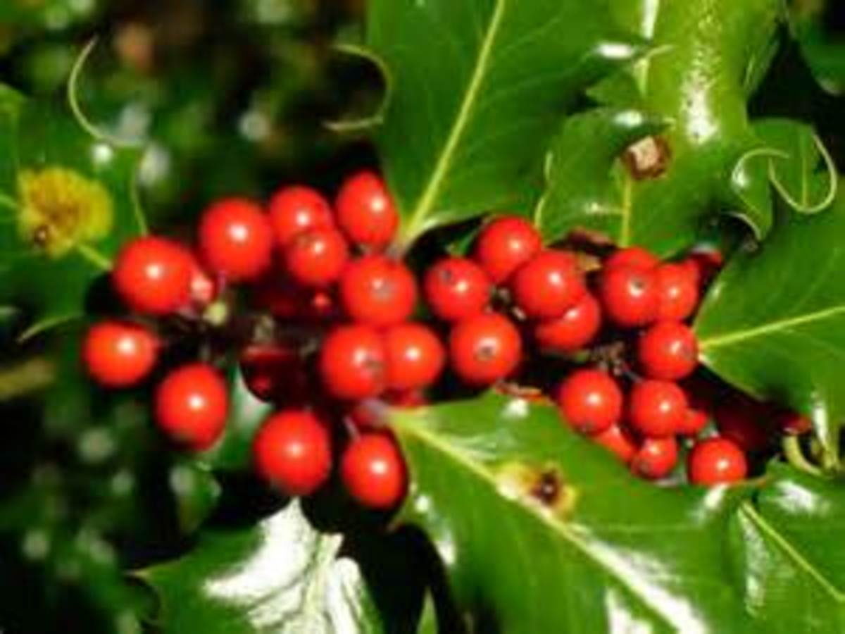 Deck the halls with holly -  a favourite decoration for Christmas.