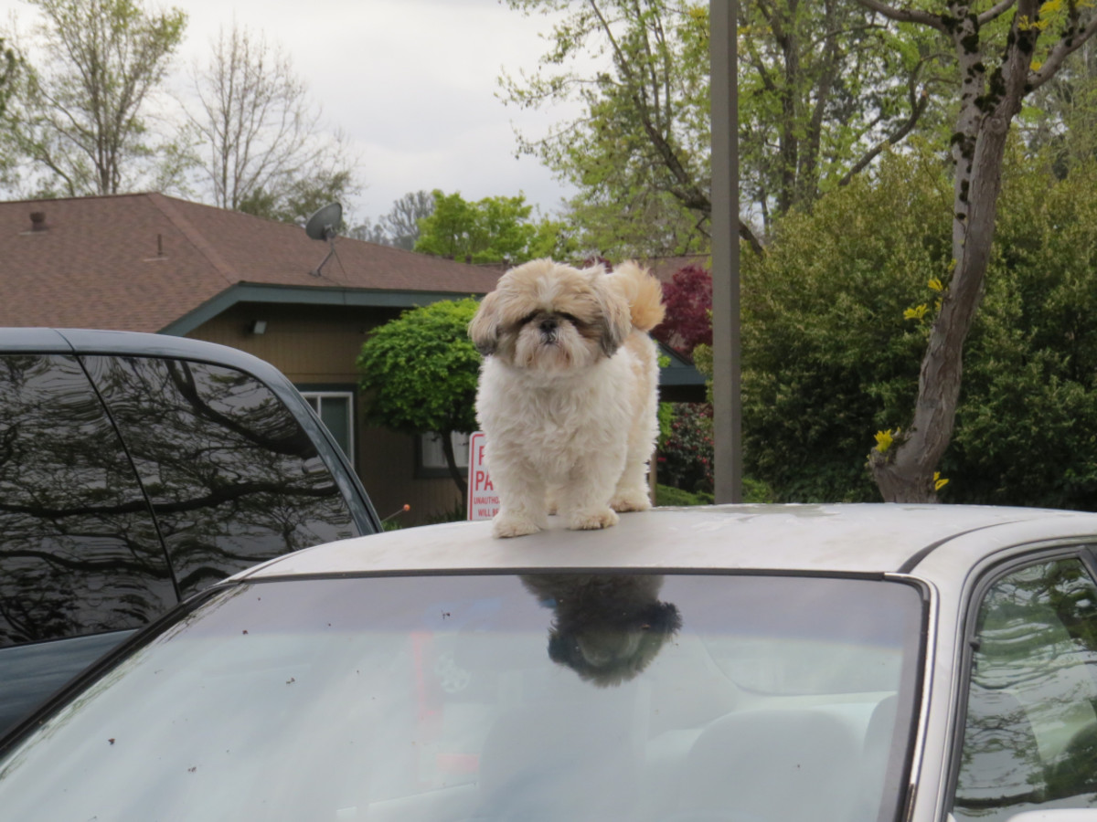 Dog sitting on top of the car
