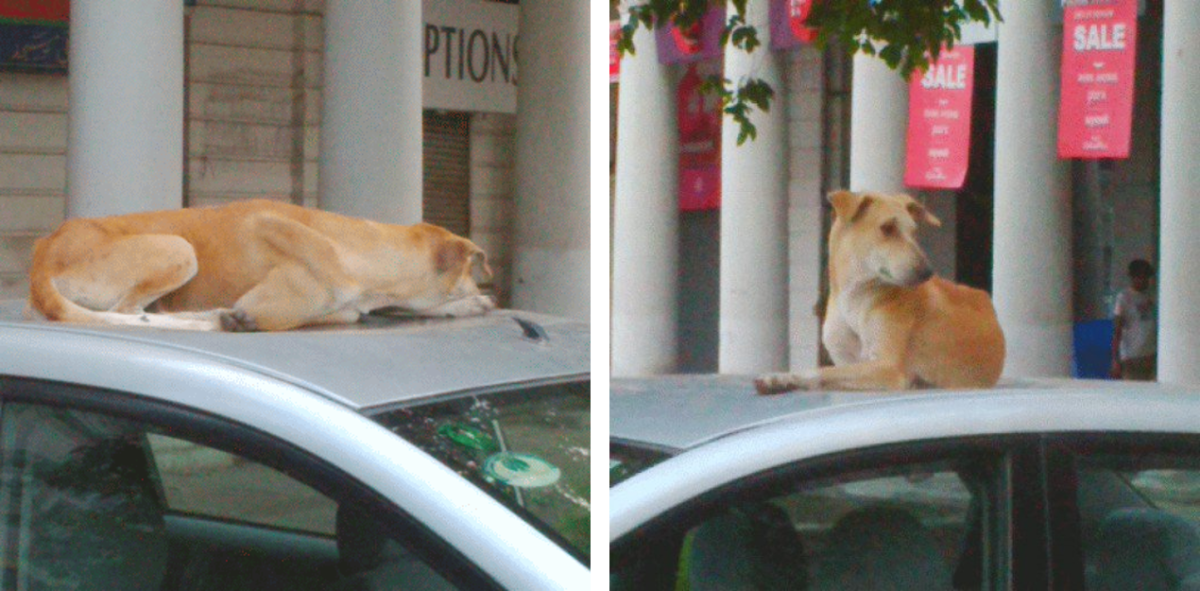 why-do-dogs-sit-on-top-of-the-car-at-night