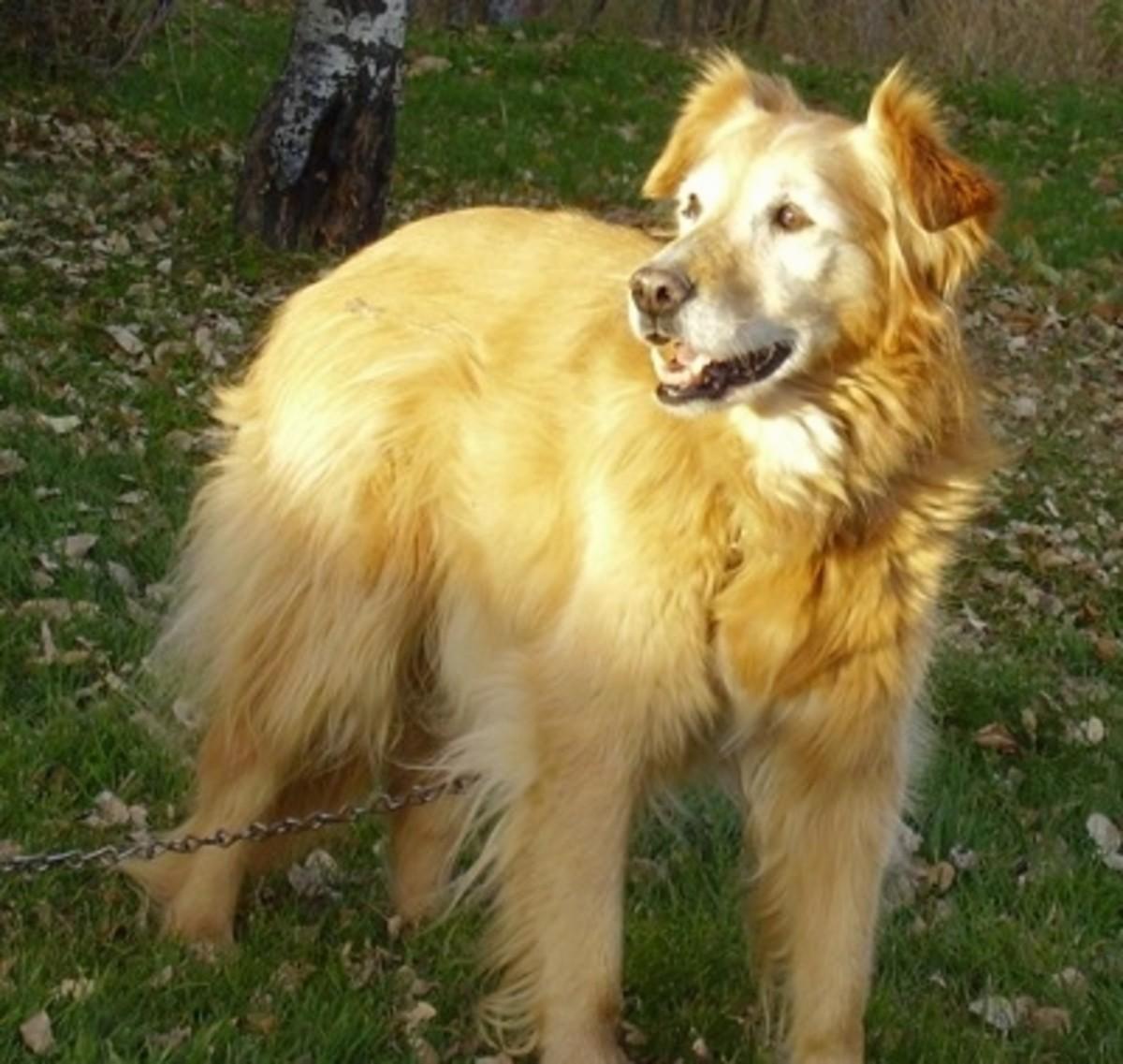 Gollie (Collie and Golden Retriever mix)