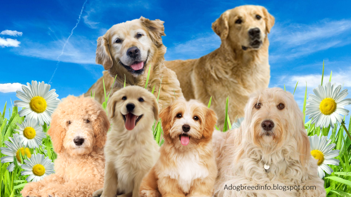 10 Most Popular Golden Retriever Mix Dogs