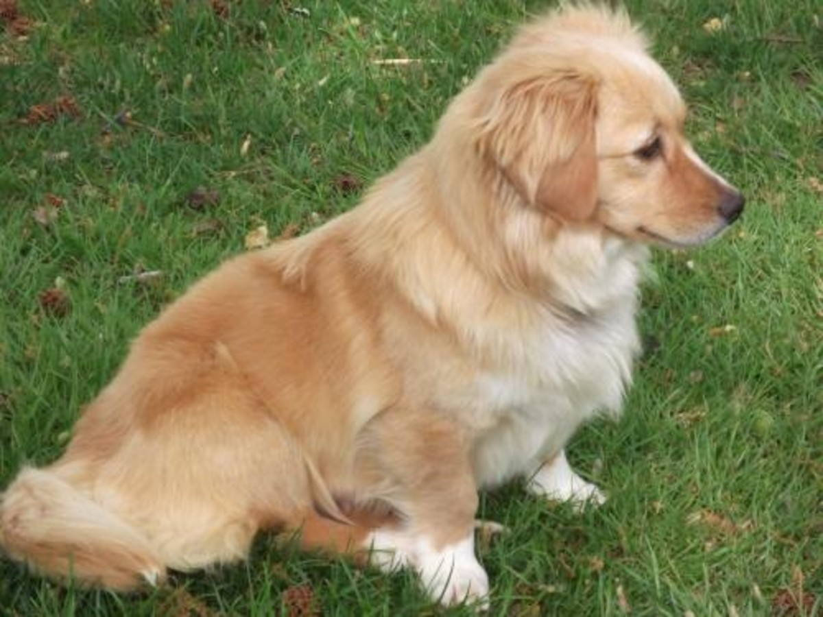 Golden Retriever and Corgi mix
