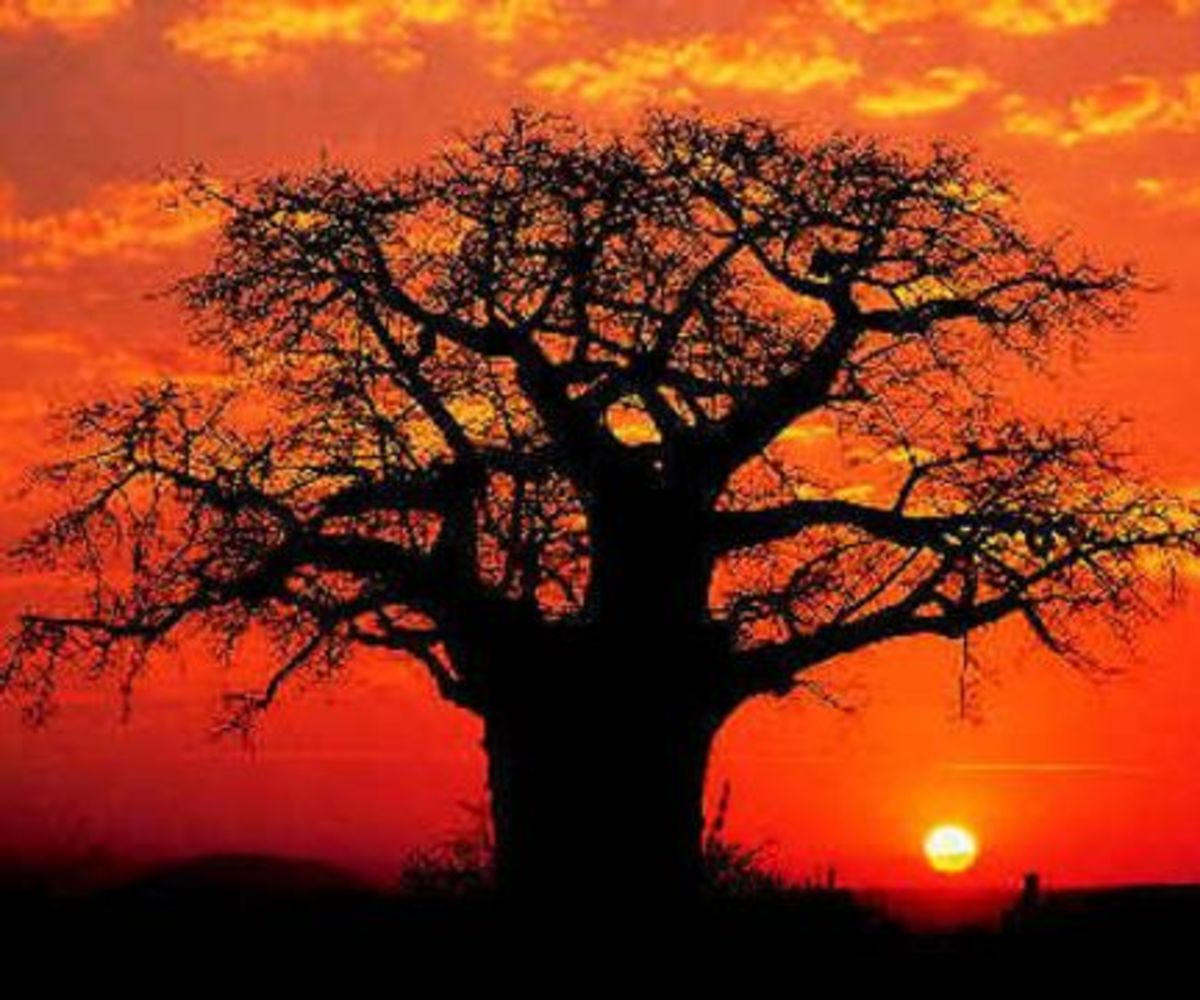 A baobab tree silhouetted against the sun.
