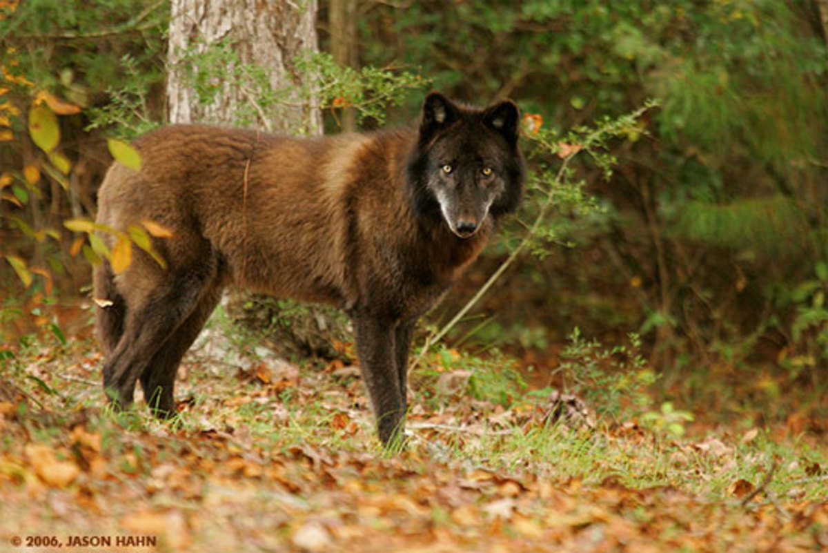 British Colombian Wolf