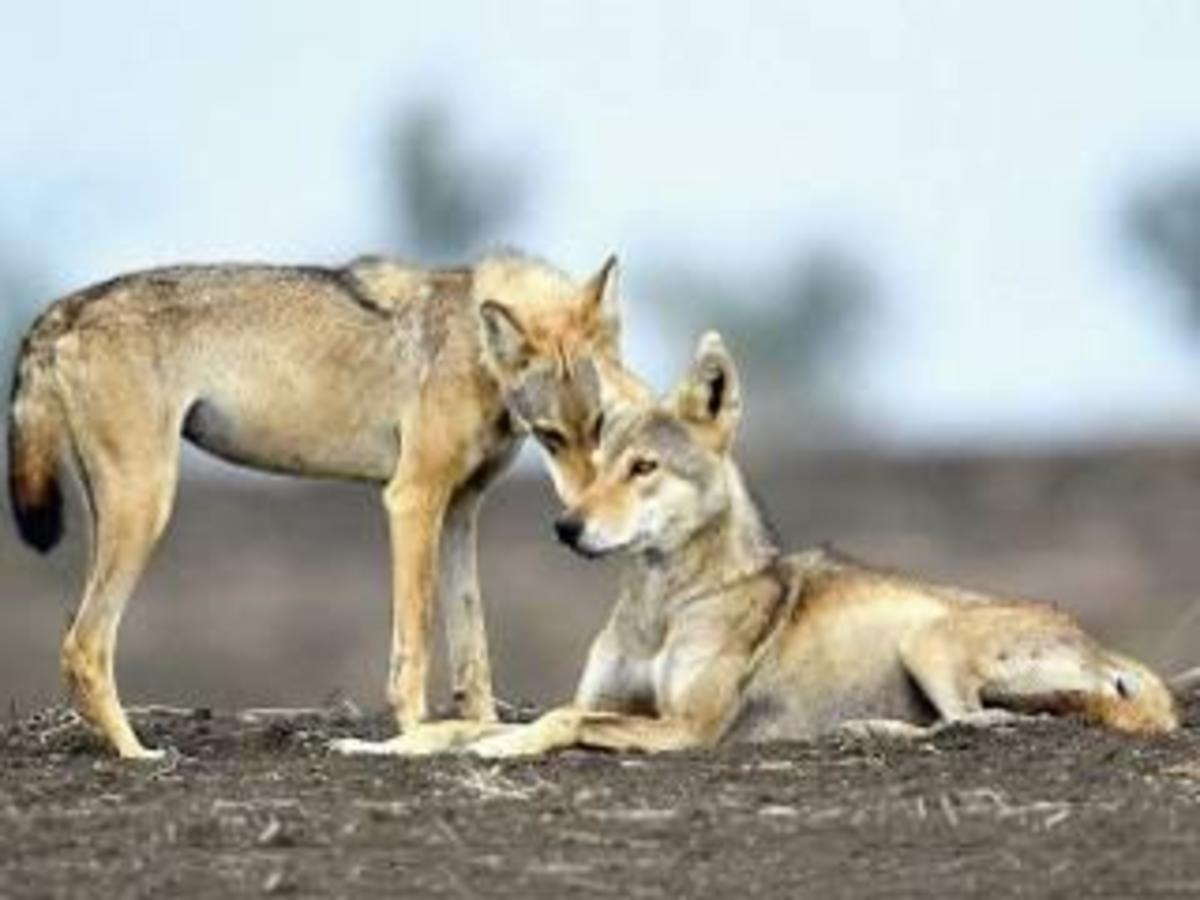 THE WOLVES OF KOPPAL