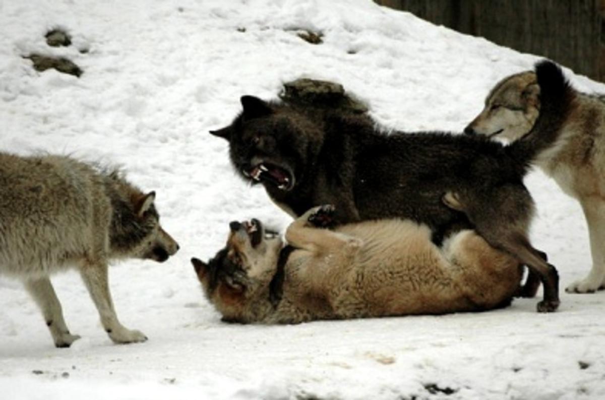 MacKenzie Valley Wolf