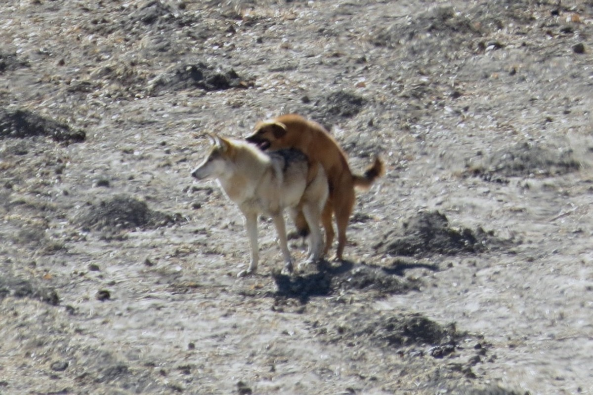 Hybridization between Local Native dogs, Himalayan and Tibetan Wolves