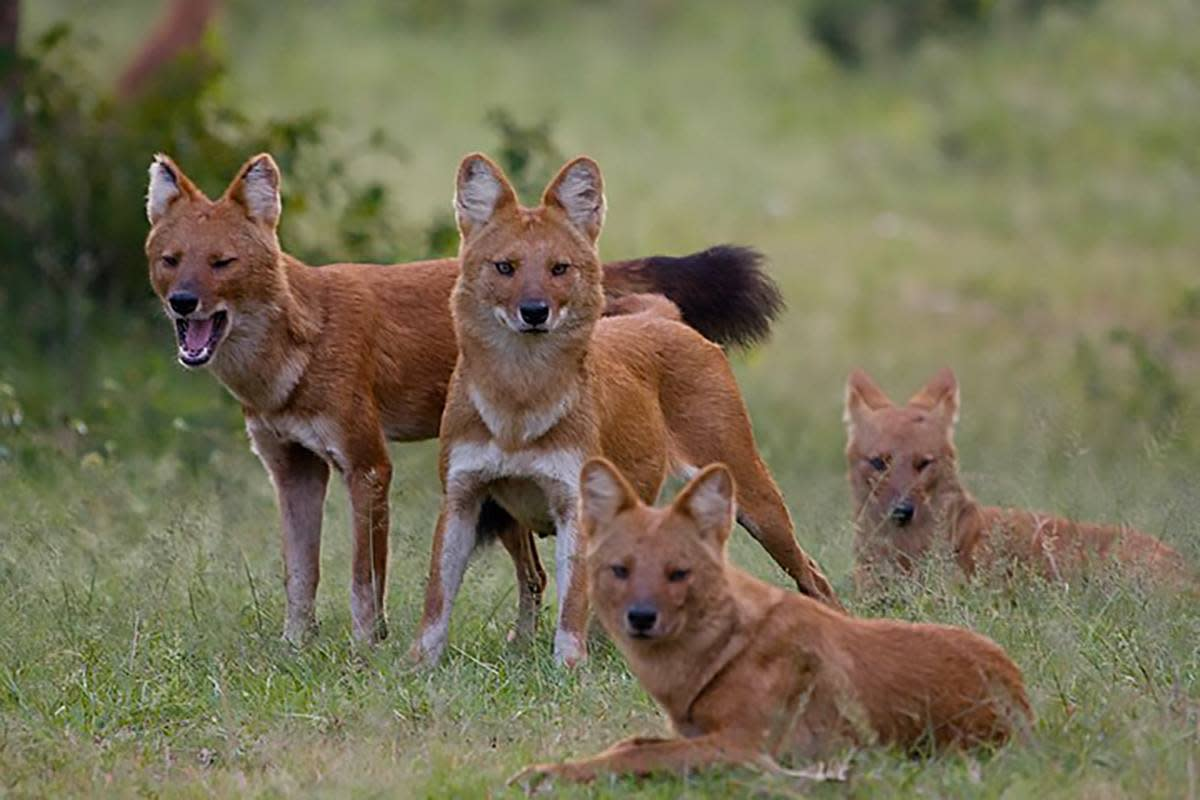 Asiatic Wild dogs or Dhole (A different canid species, different from wolf)