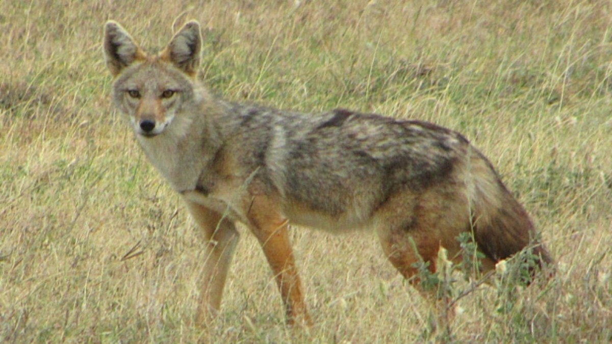 The Serengeti Wolf