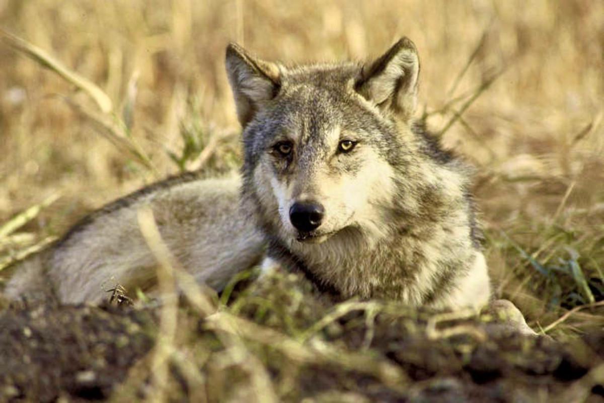 Newfoundland Wolf