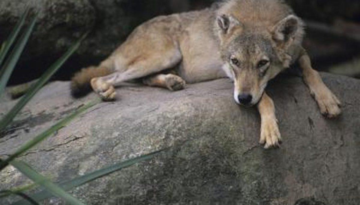 The Hokkaido Wolf